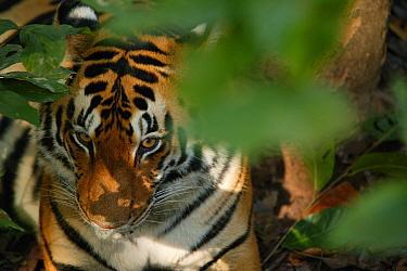 Bengal tiger (Panthera tigris tigris) female resting under tree, Kanha National Park, India.