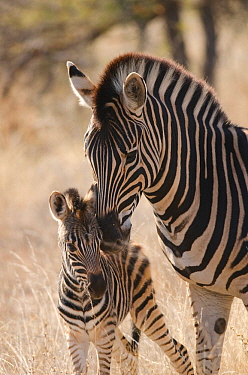 Plains zebra (Equus quagga) grooming foal, Kruger National Park, South Africa, July.