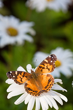Painted lady butterfly (Vanessa cardui) on Montauk Daisy, Madison, Connecticut, USA.
