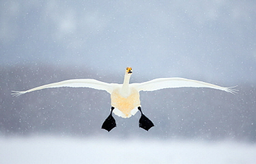 Whooper swan (Cygnus cygnus) in flight in snowfall, Lake Kussharo, Japan, February