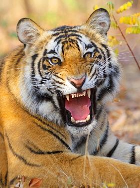 Bengal tiger  (Panthera tigris) baring teeth, Bandhavgarh, India.