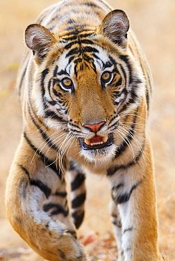 Bengal tiger (Panthera tigris tigris) portrait, Bandhavgarh, India.