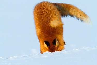 Red fox (Vulpes vulpes) searching for lemmings buried in deep snow. Lapland, Finland, March.