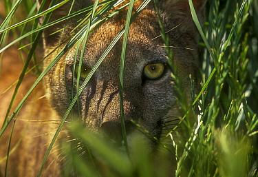 Puma (Puma concolor) hidden in vegetation, captive, La Pampa , Argentina
