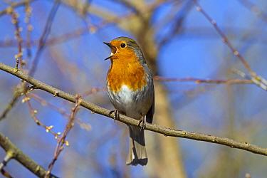 Robin (Erithacus rubecula) singing, Norfolk, England, UK, February.