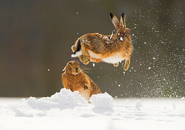 Brown hare (Lepus europaeus) adult female (mid-air) leaping out of her form in snow,  away from male, Derbyshire, UK. March.