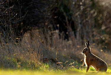 Brown hare (Lepus europaeus) adult backlit near a hedgerow at dawn, Derbyshire, UK, March.