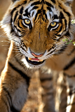 Bengal tiger (Panthera tigris tigris) portrait, whilst stalking, Bandhavgarh, India.