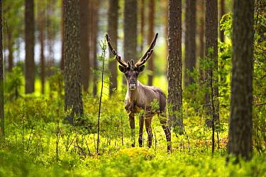 Forest reindeer, (Rangifer tarandus fennicus) Viiksimo, Kuhmo region. Finland, July. Rare subspecies which were nearly extinct in the 19th Century.