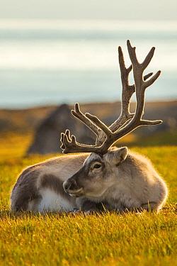 Svalbard reindeer (Rangifer tarandus platyrhynchus) resting, Svalbard, Norway, August.