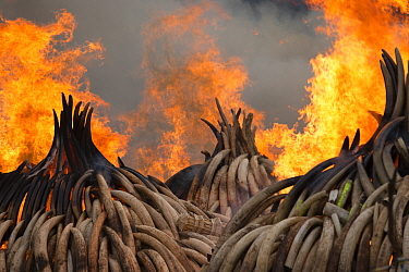 Piles of African elephant ivory set on fire by the Kenya Wildlife Service (KWS). This burn included over 105 tons of elephant ivory, worth over $150 million. Nairobi National Park, Kenya, 30th April 2...