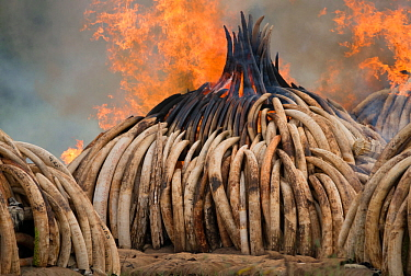 Piles of African elephant ivory on fire, burnt by the Kenya Wildlife Service (KWS). This burn included over 105 tons of elephant ivory, worth over $150 million. Nairobi National Park, Kenya, 30th Apri...