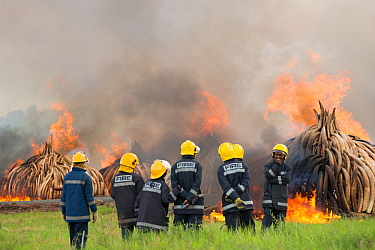 Firemen watching as piles of African elephant ivory are burnt by the Kenya Wildlife Service (KWS). This burn included over 105 tons of elephant ivory, worth over $150 million. Nairobi National Park, K...
