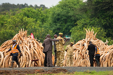 African elephant (Loxodonta africana) ivory in piles, ready to be burnt by the Kenya Wildlife Service (KWS). The burn included 105 tons of elephant ivory worth over  $150 million Nairobi National Park...