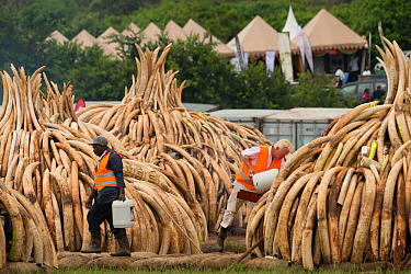 Men preparing African elephant (Loxodonta africana) ivory in piles, to be burnt by the Kenya Wildlife Service (KWS). The burn included 105 tons of elephant ivory worth over  $150 million Nairobi Natio...