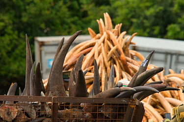 Rhino horns and Elephant ivory ready to be burnt by the Kenya Wildlife Service (KWS). Burn included 105 tons of elephant ivory and one ton of rhino horn (estimated to be 5% of the current world stockp...