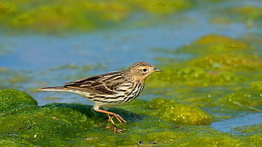 Red-throated pipit (Anthus cervinus) on algae at waters edge, Uto, Lounais-Finland / South-Western Finland, Finland, May.
