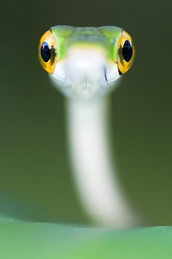 Satiny Parrot snake (Leptophis depressirostris) Santa Rita, Costa Rica.
