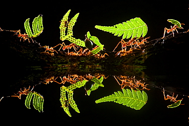 Leaf cutter ants (Atta sp) carrying plant matter, reflected in water, Costa Rica.