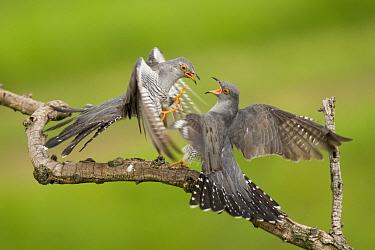 Cuckoos (Cuculus canorus) squabbling, Kiskunsagi National Park, Pusztaszer, Hungary. February.
