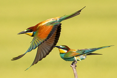 European bee eaters (Merops apiaster) one taking off another perched, Kiskunsagi National Park, Pusztaszer, Hungary. May.