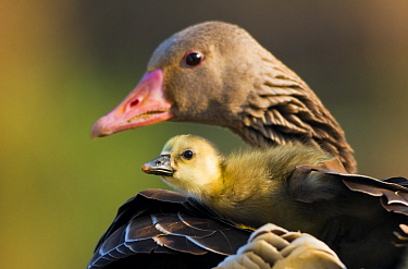 Graylag gosling (Anser anser) resting under parent's wing, Pusztaszer, Kiskunsagi National Park, Pusztaszer, Hungary.