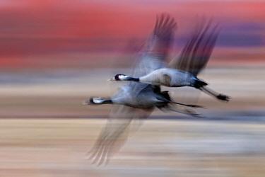 Blurred image of two Common cranes (Grus grus) in flight, Lake Csaj, Kiskunsagi National Park, Pusztaszer, Hungary. April.