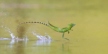 Green / Double-crested basilisk (Basiliscus plumifrons) running across water surface, Santa Rita, Costa Rica.