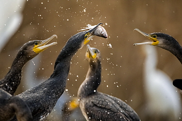Cormorants (Phalacrocorax carbo) squabbling over fish, Pusztaszer, Kiskunsagi National Park, Hungary, November.