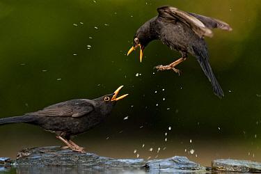 Blackbird (Turdus merula) fighting, splashing water, Pusztaszer, Kiskunsagi National Park, Hungary, April.