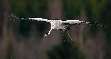 Eurasian crane (Grus grus) in flight,  Pusztaszer, Kiskunsagi National Park, Hungary, April.