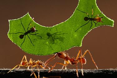 Leaf cutter ants (Atta sp) carrying piece of  leaf, Costa Rica.