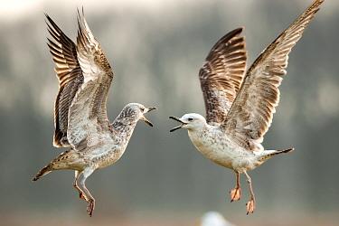Caspian gulls (Larus cachinnans) juveniles fighting, Lake Csaj, Kiskunsagi National Park, Pusztaszer, Hungary. March.