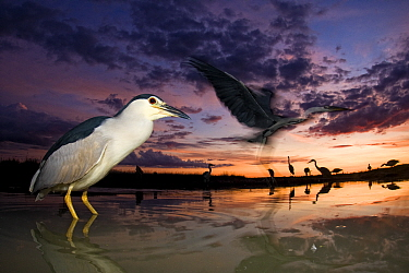 Black crowned night heron (Nycticorax nycticorax) at twilight with other herons in the background, including Grey heron (Ardea cinerea) in flight,  Lake Csaj, Kiskunsagi National Park, Pusztaszer, Hun...