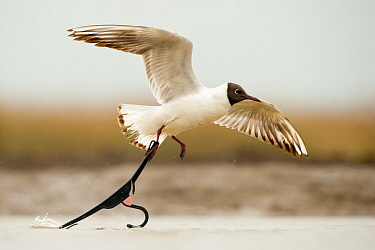Black headed gull (Chroicocephalus ridibundus) taking off with foot caught in discarded coat hanger, Lake Csaj, Kiskunsagi National Park, Pusztaszer, Hungary. May.