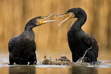 Two Cormorants (Phalacrocorax carbo) squabbling, Lake Csaj, Kiskunsagi National Park, Pusztaszer, Hungary.
