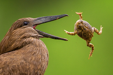 Hamerkop (Scopus umbretta) tossing frog prey, Mkuze, South Africa