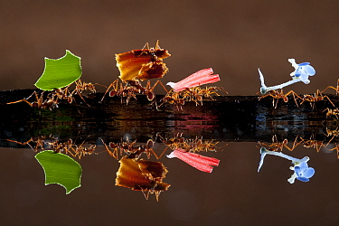 Leaf cutter ants (Atta sp) carrying colourful plant matter, reflected in water, Costa Rica.