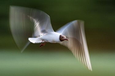 Black headed gull (Chroicocephalus ridibundus) in flight, blurred motion, Kiskunsagi National Park, Pusztaszer, Hungary. June.
