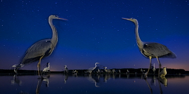 Grey heron (Ardea cinerea) face to face in lake, at night with stars, Lake Csaj, Kiskunsagi National Park, Pusztaszer, Hungary. July.