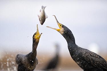 Cormorants (Phalacrocorax carbo) squabbling over fish, Lake Csaj, Kiskunsagi National Park, Pusztaszer, Hungary. January.
