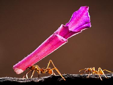 Leaf cutter ant (Atta sp) carrying pink flower segment, Santa Rita, Costa Rica.