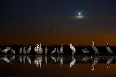 Group of Great egrets (Ardea alba), Grey heron (Ardea cinerea) and Eurasian spoonbill (Platalea leucorodia) at night with stars and moon. Lake Csaj, Kiskunsagi National Park, Pusztaszer, Hungary. May.