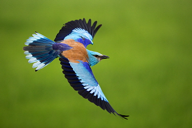 European roller (Coracias garrulus) in flight, Pusztaszer, Hungary, May.