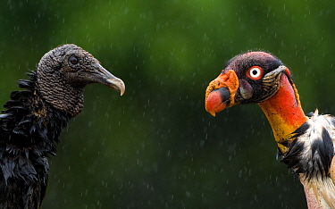 Black vulture (Coragyps atratus) face to face with King vulture (Sarcoramphus papa) Costa Rica.
