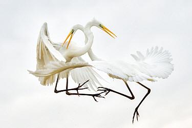 Great egrets (Ardea alba) fighting in mid-air, Lake Csaj, Kiskunsagi National Park, Pusztaszer, Hungary. January.