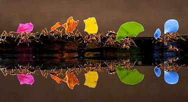 Leaf cutter ants (Atta sp) carrying colourful plant matter, reflected in water, Laguna del Lagarto, Santa Rita, Costa Rica