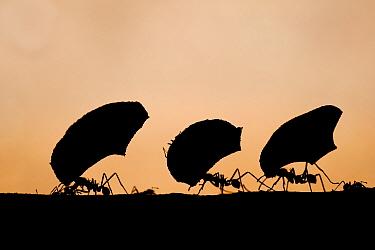 Leaf cutter ants (Atta sp) silhouetted carrying plant matter, Laguna del Lagarto, Santa Rita, Costa Rica