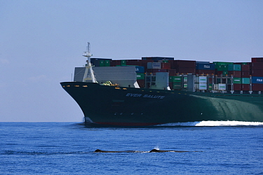 Sperm whales (Physeter macrocephalus) surfacing to breathe in close proximity to a large commercial container vessel.  Sri Lanka, Indian Ocean.