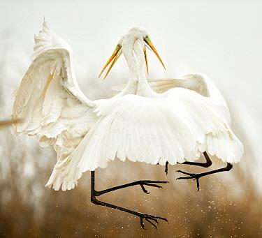 Great egret (Ardea alba) two fighting in flight, Lake Csaj, Kiskunsagi National Park, Pusztaszer, Hungary. January.